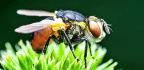 'Navigational Goals' Help Fruit Flies Move In A Straight Line