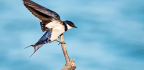 How Birds Perch Could Lead To Nimbler Flying Robots