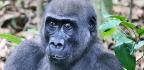 Gorillas Crack Into Walnuts Despite Having The Wrong Teeth