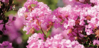 Spring Has Sprung And Fleming's Nurseries Has Presented Its Top 10 Flowering Trees Collection