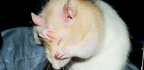 'Lazy' Rat Gene May Play A Role In Human Inactivity