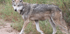 How Science Watchdogs Can Protect the Gray Wolf
