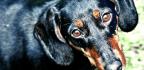 Dogs Can Get The Same Autoimmune Encephalitis We Do