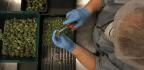 Mientras Illinois Determina Si Limitar La Potencia De La Marihuana Legalizada, La Droga Es Blanco De Mayor Escrutinio Tras Ser Vinculada A Psicosis