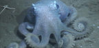 These Octopuses Are So Warty, They Almost Got Mistaken For A New Species