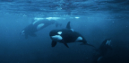 How Did Orcas And Bats Both Evolve Echolocation?
