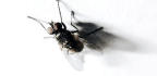 How Flies Stick A Landing Upside Down Could Inspire New Robots