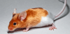 Social Lab Mice Would Be Better Stand-ins For People