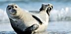 Arctic Sea Ice Loss Opens Marine Mammals To Deadly Virus