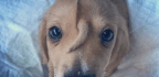 The Science Behind This Adorable Puppy's Forehead Tail